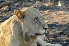 DSC_4110 (Arno Meintjes Wildlife) Tags: africa animal southafrica wildlife lion safari bigcat predator krugerpark big5 pantheraleo arnomeintjes
