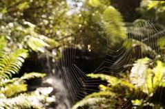 Spoiler alert - he gets away (jgazzignato) Tags: spiderweb tasmania silverfalls ferntree