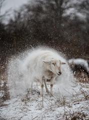 Schüttelschaf (*altglas*) Tags: schnee snow sheep schafe animalportrait tierportrait