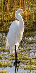 _C5A4255.jpg (Lake Worth) Tags: bird nature birds animal animals canon wings wildlife feathers sigma waterbird wetlands everglades waterbirds southflorida 2xextender 5dmark3