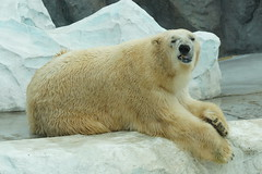 Yukio the Polar Bear 2014-11-09 (kuromimi64) Tags: bear japan zoo tokyo polarbear  uenozoo    uenozoologicalgardens