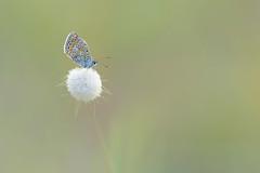 Polyommatus icarus (Philippe POUVREAU) Tags: nature butterfly papillon plage 2014 polyommatusicarus loireatlantique saintbrvinlespins saintbrvin argusbleu paysderetz azurcommun lagureovale