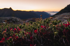 Alpine flora (zh3nya) Tags: sunset plants mountains fall nature colors outdoors washington twilight hiking kitlens depthoffield blueberry alpine pacificnorthwest cascade pnw turning goldenhour northcascades whatcom crowberry subalpine 1855mmf3556 mountbakerwilderness d3100