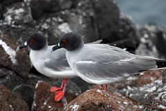 Swallow-tailed Gull (Prairie_Wolf) Tags: bird nature birds ecuador wildlife endemic avian travelphotography galapagosislands creagrusfurcatus swallowtailedgull rachelmackayphotography