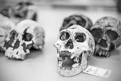 20141014_F0001: Homo erectus Dmanisi skull and jaw (wfxue) Tags: table skulls skull jaw evolution science homo species bone biology extinct anthropology homoerectus dmanisi hominini