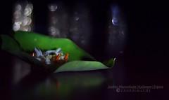 শারদ সম্ভার - শিউলী (Sanhita Bhattacharjee) Tags: autumn india blur flower green beautiful beauty closeup night dark creativity photography 50mm leaf google nikon flickr dof bokeh dream evergreen nikkor bengal bangla greenleaf tripura lowlightphotography phool betterphotography kalyanpur bengalee nikkor50mm18g শারদ nikond3100 শিউলী sanhitabhattacharjee nightjesmine shiuliphool সম্ভার