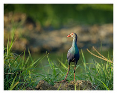 Purple Swamphen (cknara) Tags: india water birds purple chennai wetland swamphen pallikaranai