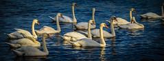 Schwanengruppe (BildBau by Alex) Tags: nikon wasser fluss elbe vogel schwne wasservogel d5100 schwanengruppe nikkor55300mm
