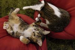 . (rampx) Tags: cat kittens fujifilm neko   musashi miaw hiyori xt1