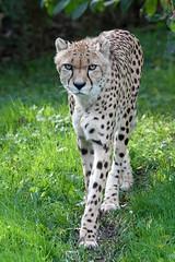 Cheetah (Buggers1962) Tags: cheetah