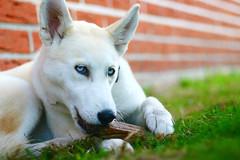 (spekulatius05) Tags: dog husky hund siberianhusky
