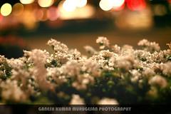 Little world (MGaneshKumar) Tags: flowers usa nature canon 50mm nightlight nightlife ganeshkumarmurugesan
