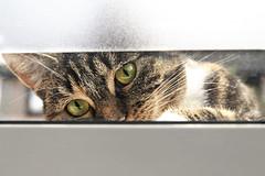 Curiosity ... (jinterwas) Tags: window tom cat eyes kat creative free commons cc use curious ogen curiosity raam peeping binnen kijken nieuwsgierig nieuwsgierigheid loeren