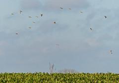 Linnets (Feathers (Joe)) Tags: wild bird lumix coast birding norfolk feathers panasonic care happisburgh fz200