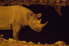 IMG_1835 (Cryptoghost) Tags: namibia blackrhino etosha okaukuejo oshikoto okaukuejowaterhole