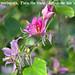 Bauhinia variegata, Pata de vaca, Árbol de las orquídeas, o Árbol orquídea