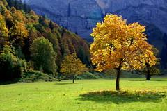 Under the spotlight (Ahornboden, Austria) (armxesde) Tags: autumn trees fall yellow austria golden tirol österreich maple pentax herbst ricoh eng k3 karwendel ahornboden groserahornboden