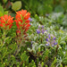 Indian Paint Brush and Lupine, New River ACEC