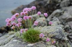 Carn na Frith-aird, Plockton (Spannarama) Tags: uk flowers coast scotland highlands rocks coastal thrift viewpoint plockton carnnafrithaird