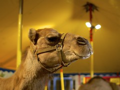 2014.09.28-21.28.50 (Pak T) Tags: animal massachusetts fair camel springfield pettingzoo thebige springfieldma sigma30mmf14