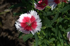 Red and White Flower (thively) Tags: flowers red white texas bright arboretum carleen woodway