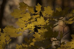 autumn leaves ~ Michigan (j van cise photos) Tags: leaves fall autumn nature tree