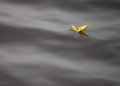 Leaf on Smooth Water (Pauline Brock) Tags: leaf yellowleaf floatingleaf water fall autumn abstract minimalist lim012