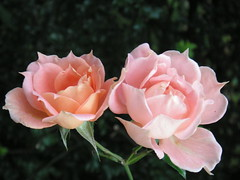 różyczki jesienne