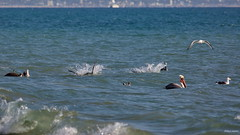 Brown Pelicans (C), submerged together, Santa Monica Bay CA CQ4A1597 (Hart Walter) Tags: brownpelican malibulagoon marbledgodwit earedgrebe santamonicabay pelicanfeedingfrenzy