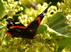 Garden Red Admiral (Feathers (Allan)) Tags: red garden ivy admiral
