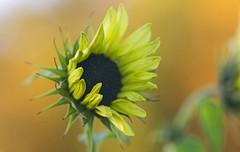 The Maple's Fall Scarf (Lala Lands) Tags: dof bokeh fallcolors emilydickinson nikkor105mmf28 yellowsunflowers fallbokeh latebloomingsunflowers goldenmapleleaves nikond300s fallafternoonlight fallpoem