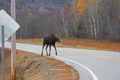 IMG_6473 (lloydsjourney) Tags: autumn wild snow fall nature natural wildlife maine newengland newhampshire moose bull antlers mtwashington rack lloyd alexander bullmoose lloydalexander