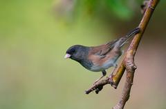 Dark-eyed Junco (Bryn Tassell) Tags: canada birds bc britishcolumbia junco vancouverisland lantzville hyemalis bryntassellca bryntassell