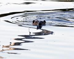 Beaver (Boganeer) Tags: canada nature canon mammal rodent wildlife beaver newbrunswick maritime nouveaubrunswick castor maritimes wetland mactaquac castorcanadensis canonxti mactaquacprovincialpark wildlifewednesdays