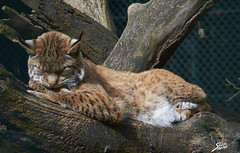 sleeping lynx (spx photos) Tags: animal lynx sfshow
