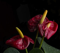 Anthurium Flowers At Different Stages in Life Cycle (Bill Gracey 24 Million Views) Tags: california flowers red flores flower macro green nature fleur yellow blackbackground composition colorful shadows flor shapes lakeside textures naturalbeauty softbox reflector sidelighting flamingoflower lifecycle macrolens complementarycolors directionallight offcameraflash tabletopphotography anthuriumhybrid yn560 yongnuorf603n