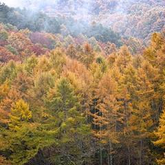 Autumn Leaves in Tateshina, Nagano, Japan (2/3) (macpapaja) Tags: autumn nature square sigma dp3