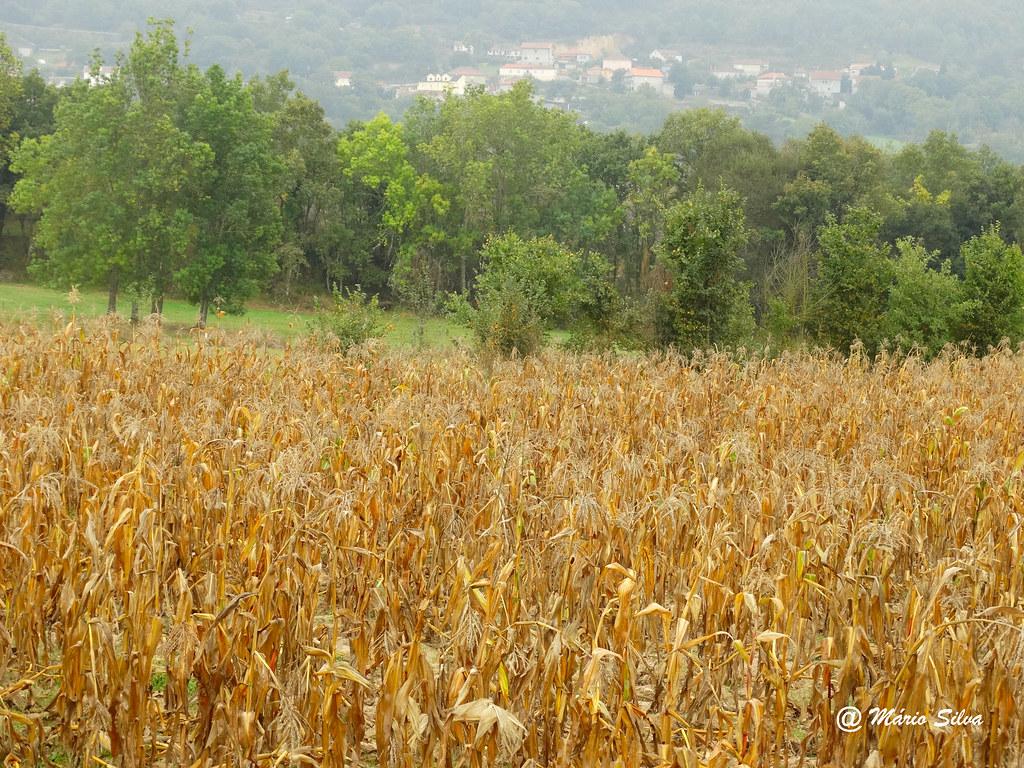 Águas Frias (Chaves) - ... campo de milho ...