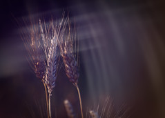 In the wheat fields behind the château... (Photography Revamp) Tags: glow wheat poland rays podkarpackievoivodeship glinikzaborowski