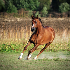 (Olgait) Tags: wild sky horse orange brown sun motion reflection male nature grass speed mammal freedom bay moving force power farm rear young free fast run front reflect arab beast chestnut strong arabian harness runner equestrian tale fastest grazing forward canter equine gallop trotting hoofed