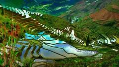 Rice Terraces of Yuanyang, China (flowerikka) Tags: china green water cn yunnan hani riceterraces worldheritage yuanyang elitephotography minoritys