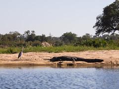 Nile Crocodile - Crocotylus niloticus - Nilkrokodil (jaffles) Tags: nature southafrica wildlife natur olympus safari np südafrika kruger krugernp