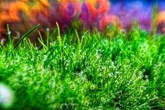 After Rain (Dhina A) Tags: grass canon prime waterdrop bokeh 100mm m42 28 f28 meyer raindrop optik meyeroptik trioplan canon60d circlebokeh 15blades meyeroptiktrioplan135mmf28
