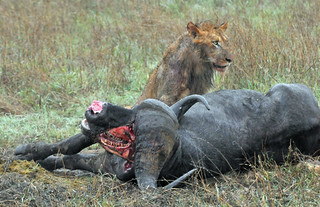 Lion with Buffalo Kill in the Rain