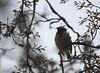 Rose-breased Grosbeak (jd.willson) Tags: birds island bay birding maine jd grosbeak penobscot willson rosebreasted islesboro jdwillson