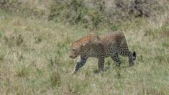 Leopard (Tris Enticknap) Tags: africa africanleopard cat kenya leopard nikond750 maranorthconservancy nikkor80400mmafslens