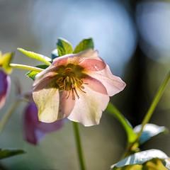 hellebore de Corse - Rose de Noël (oudjat45) Tags: helleboredecorserosedenoël vert bleu rose orange bokeh fleur couleurs blue green flowers colors pink helleboreofcorsica christmasroses lumière light