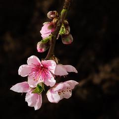 Spring is coming (stevehimages) Tags: blossom tree steve steveh stevehimages sutton coldfield wowzers warden west midlands 2017 higgins grandpas grandpasden den