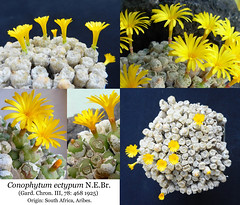 Conophytum ectypum (collage) (Succulents Love by Pasquale Ruocco (Stabiae)) Tags: conophytum ectypum collage aizoaceae mesembs mesembryanthema mesembryanthemaceae mimetismo mimicry pasqualeruocco piantegrasse plantesgrasses piantagrassa plantassuculentas stabiae succulentslove succulents succulente succulent southafrica succulentas sukkuleten cactusco forumcactusco westerncape