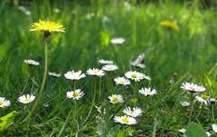 Spring<>Printemps. (France-♥) Tags: 6144 fleurs marguerite flowers pissenlit spring printemps herbe grass canada bc dandelion daisy nature